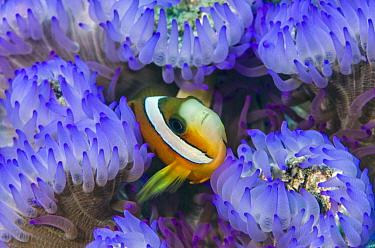Clark's Anemonefish (Amphiprion clarkii) in sea anemone tentacles, Raja Ampat Islands, Indonesia