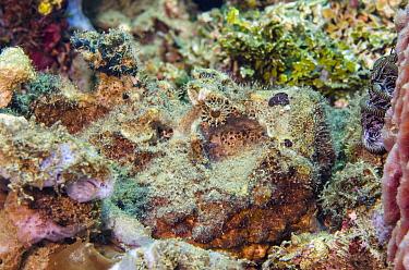 Esturine Stonefish (Synanceia horrida) camouflaged in reef, Banda Sea, Indonesia