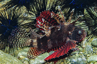 Shortfin Turkeyfish (Dendrochirus brachypterus) and sea urchins, Banda Sea, Indonesia