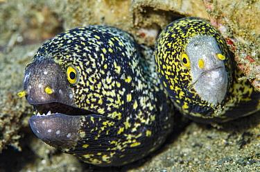 Snowflake Moray (Echidna nebulosa) pair, Banda Sea, Indonesia