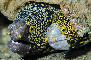 Snowflake Moray (Echidna nebulosa) pair, Banda Sea, Indonesia