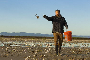 Snowy Plover (Charadrius nivosus) biologist, Ben Pearl, spreading oystershells in salt pond, which snowy plovers can use for camouflage, Eden Landing Ecological Reserve, Union City, Bay Area, Californ...
