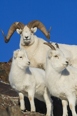 Dall's Sheep (Ovis dalli) ram, lamb, and ewe, Yukon Territory, Canada