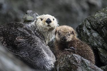 Sea Otter (Enhydra lutris) mother and pup on land, Alaska