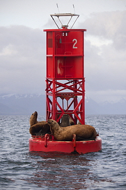 Steller's Sea Lion (Eumetopias jubatus) group on buoy, Alaska