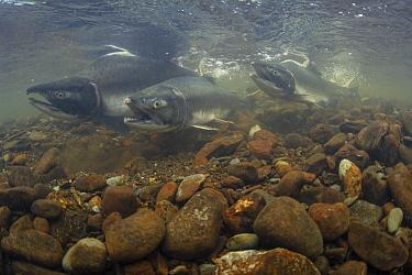 Pink Salmon (Oncorhynchus gorbuscha) trio spawning, Prince William Sound, Alaska