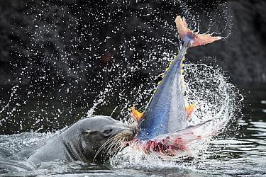 Galapagos Sea Lion (Zalophus wollebaeki) killing Yellowfin Tuna (Thunnus albacares) prey, after it was herded into shallow water, Punta Albemarle, Isabela Island, Galapagos Islands, Ecuador