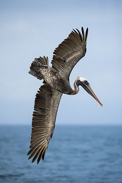 Brown Pelican (Pelecanus occidentalis) plunge diving, Espumilla Beach, Santiago Island, Galapagos Islands, Ecuador