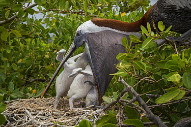Brown Pelican (Pelecanus occidentalis) feeding chicks in nest, Academy Bay, Santa Cruz Island, Galapagos Islands, Ecuador