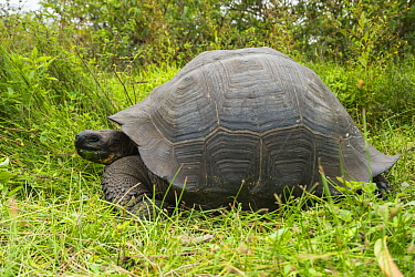 Eastern Santa Cruz Tortoise (Chelonoidis donfaustoi), newly described species, Cerro Mesa, Santa Cruz Island, Galapagos Islands, Ecuador