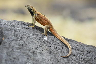 Hood Lava Lizard (Microlophus delanonis), Punta Suarez, Espanola Island, Galapagos Islands, Ecuador