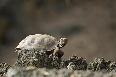Galapagos Giant Tortoise (Chelonoidis nigra) young, Galapagos Islands, Ecuador