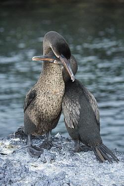 Flightless Cormorant (Phalacrocorax harrisi) pair courting, Puerto Pajas, Isabela Island, Galapagos Islands, Ecuador