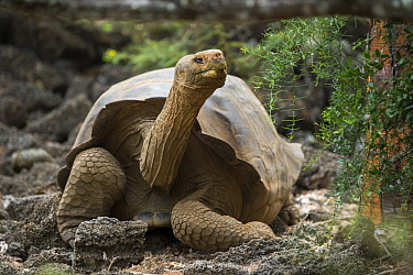 Galapagos Giant Tortoise (Chelonoidis nigra) hybrid with mixed Floreana ancestry, Fausto Llerena Tortoise Center, Santa Cruz Island, Galapagos Islands, Ecuador