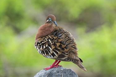 Galapagos Dove (Zenaida galapagoensis), Punta Suarez, Espanola Island, Galapagos Islands, Ecuador