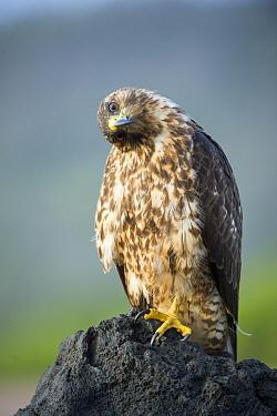 Galapagos Hawk (Buteo galapagoensis), Espumilla Beach, Santiago Island, Galapagos Islands, Ecuador