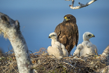 Galapagos Hawk (Buteo galapagoensis) parent and chicks on nest, Sullivan Bay, Santiago Island, Galapagos Islands, Ecuador