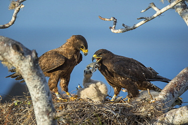 Galapagos Hawk (Buteo galapagoensis) parent feeding sea turtle hatchling to chicks in nest, Sullivan Bay, Santiago Island, Galapagos Islands, Ecuador
