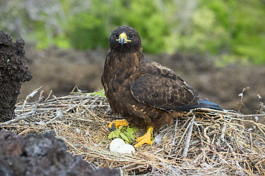 Galapagos Hawk (Buteo galapagoensis) on nest with eggs, Cape Hammond, Fernandina Island, Galapagos Islands, Ecuador