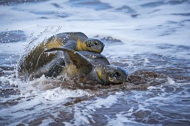 Green Sea Turtle (Chelonia mydas) pair mating in the surf, Espumilla Beach, Santiago Island, Galapagos Islands, Ecuador