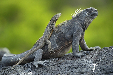 Galapagos Lava Lizard (Microlophus albemarlensis) on Marine Iguana (Amblyrhynchus cristatus), Punta Espinosa, Fernandina Island, Galapagos Islands, Ecuador