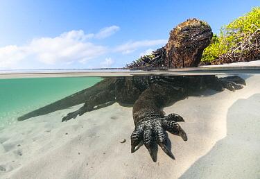 Marine Iguana (Amblyrhynchus cristatus) in shallow water along coast, Turtle Cove, Santa Cruz Island, Galapagos Islands, Ecuador