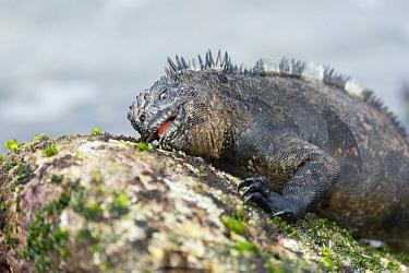 Marine Iguana (Amblyrhynchus cristatus) grazing on algae, Academy Bay, Santa Cruz Island, Galapagos Islands, Ecuador
