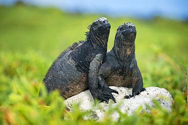 Marine Iguana (Amblyrhynchus cristatus) pair basking, Academy Bay, Santa Cruz Island, Galapagos Islands, Ecuador