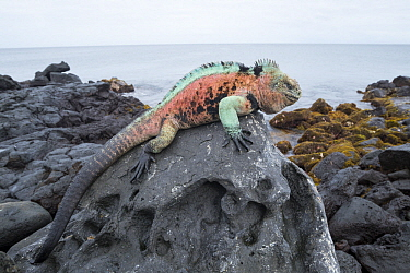 Marine Iguana (Amblyrhynchus cristatus) male in breeding colors on coast rock, Black Beach, Floreana Island, Galapagos Islands, Ecuador