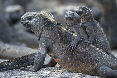 Marine Iguana (Amblyrhynchus cristatus) and juveniles basking, Punta Espinosa, Fernandina Island, Galapagos Islands, Ecuador