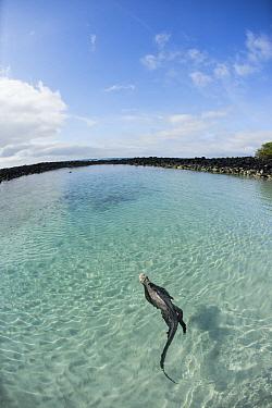 Marine Iguana (Amblyrhynchus cristatus) swimming in coastal pool, Tortuga Bay, Santa Cruz Island, Galapagos Islands, Ecuador