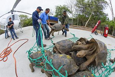 Pinzon Island Tortoise (Chelonoidis ephippium) group being transported from breeding center back to place of origin, Fausto Llerena Tortoise Center, Santa Cruz Island, Galapagos Islands, Ecuador