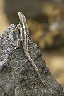 San Cristobal Lava Lizard (Microlophus bivittatus) basking, Punta Pitt, San Cristobal Island, Galapagos Islands, Ecuador