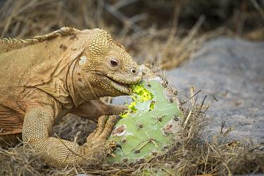 Santa Fe Land Iguana (Conolophus pallidus) feeding on opuntiua cactus, Santa Fe Island, Galapagos Islands, Ecuador