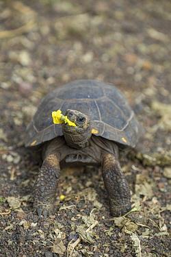 James Island Tortoise (Chelonoidis nigra darwini) young feeding on flower, Fausto Llerena Tortoise Center, Santa Cruz Island, Galapagos Islands, Ecuador