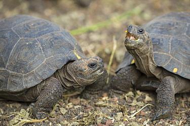 James Island Tortoise (Chelonoidis nigra darwini) young, Fausto Llerena Tortoise Center, Santa Cruz Island, Galapagos Islands, Ecuador