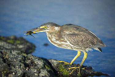 Striated Heron (Butorides striata) with prey, Punta Espinosa, Fernandina Island, Galapagos Islands, Ecuador