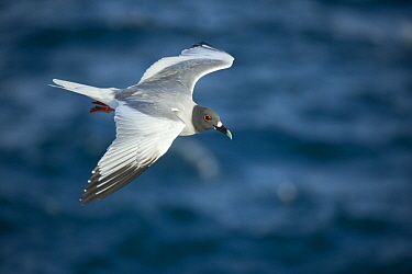 Swallow-tailed Gull (Creagrus furcatus) flying, Plazas Island, Galapagos Islands, Ecuador