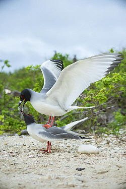 Swallow-tailed Gull (Creagrus furcatus) pair mating, Genovesa Island, Galapagos Islands, Ecuador