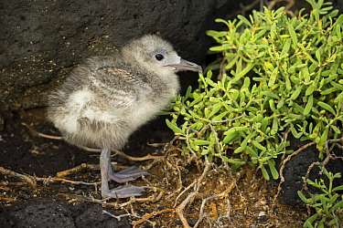 Swallow-tailed Gull (Creagrus furcatus) chick, Plazas Island, Galapagos Islands, Ecuador