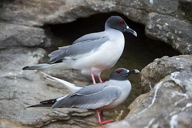 Swallow-tailed Gull (Creagrus furcatus) pair mating, Gardner Islet, Floreana Island, Galapagos Islands, Ecuador