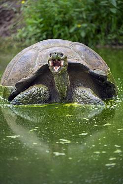 Indefatigable Island Tortoise (Chelonoidis porteri) yawning in water, El Chato Tortoise Reserve, Santa Cruz Island, Galapagos Islands, Ecuador