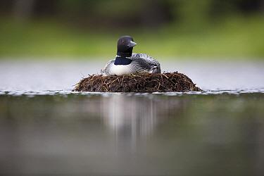 Common Loon (Gavia immer) on floating nest, Crosslake, Minnesota