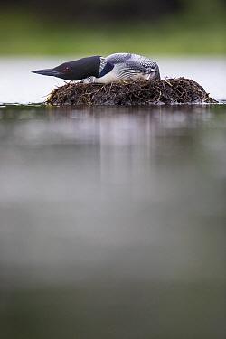 Common Loon (Gavia immer) crouching on nest as eagle flys overhead, Crosslake, Minnesota