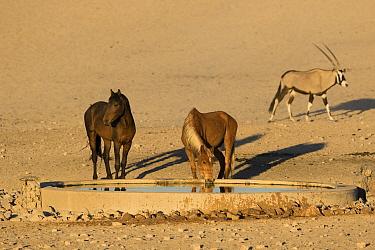 Namib Desert Horse (Equus caballus) pair drinking at trough in desert with Oryx (Oryx gazella), Namib-Naukluft National Park, Namibia