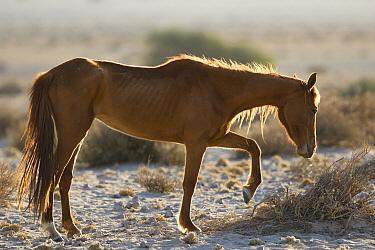 Namib Desert Horse (Equus caballus) breaking twigs with hoof before feeding on them, Namib-Naukluft National Park, Namibia