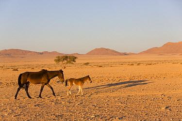 Namib Desert Horse (Equus caballus) mother and foal in desert, Namib-Naukluft National Park, Namibia