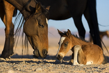 Namib Desert Horse (Equus caballus) mother and newborn foal, Namib-Naukluft National Park, Namibia