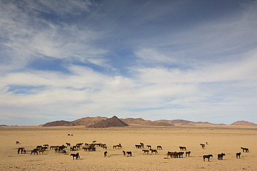 Namib Desert Horse (Equus caballus) group in desert at watering trough, Namib-Naukluft National Park, Namibia