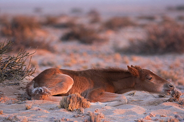 Namib Desert Horse (Equus caballus) foal feeding on shrub in desert, Namib-Naukluft National Park, Namibia